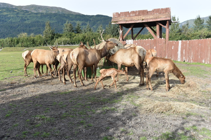 Elk at the Wildlife Center